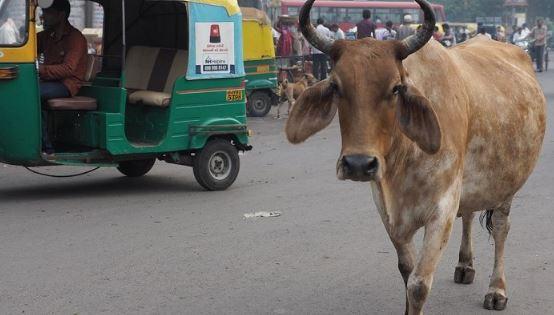 গরু নিয়ে ভারতে নতুন কাণ্ড
